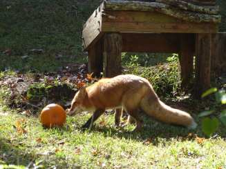 Now Sniper rolls the pumpkin over to her favorite spot.