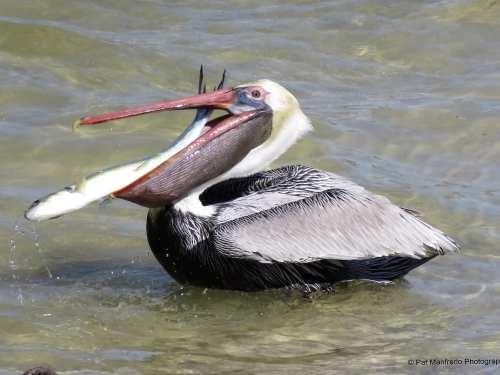 Pelican's Big Gulp