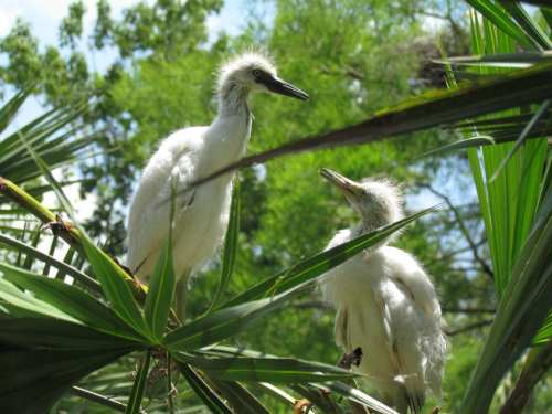 Little Blue Heron Chicks