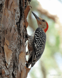 Red Breasted Woodpecker