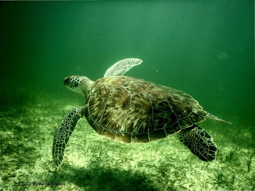 Green sea turtle swimming around the Bendickson Reef.