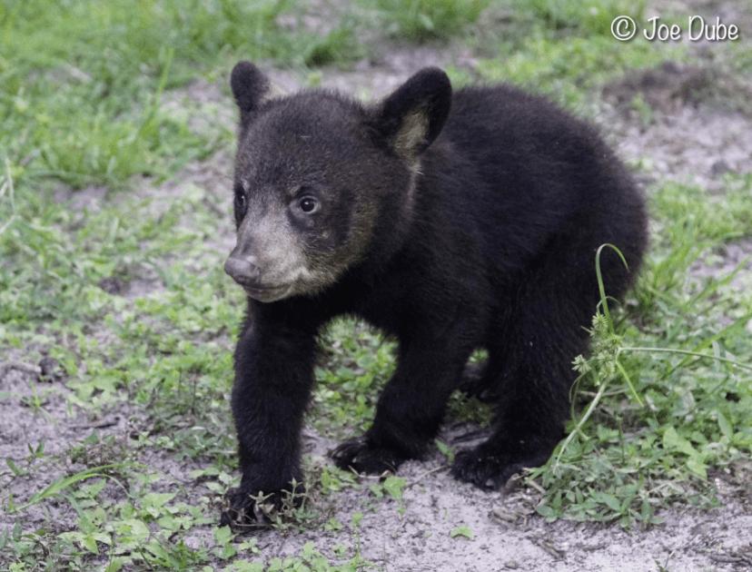 maximus florida black bear