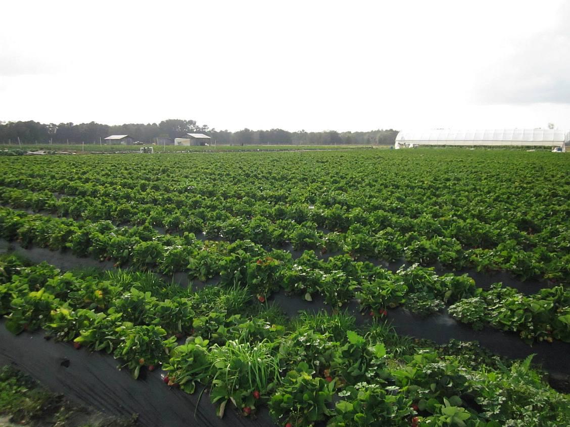 jg ranch strawberry fields