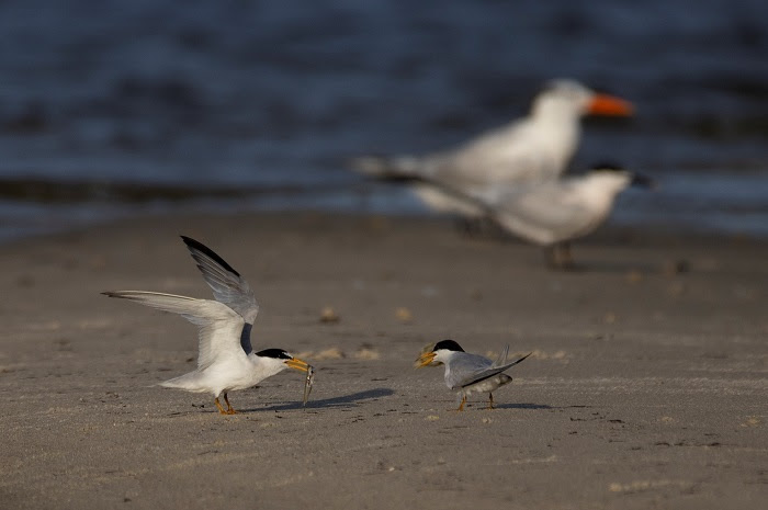 As nesting season begins for waterbird species across the state, the Florida Fish and Wildlife Conservation Commission (FWC) is sharing five easy ways that members of the public can help conserve these vulnerable bird species