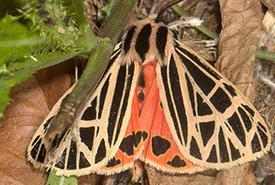 Virgin tiger moth (Photo by Nolie Schneider – CC 4.0 via iNaturalist)
