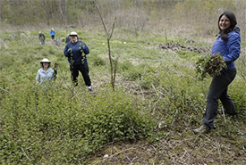 Conservation Volunteers pulling garlic mustard (Photo by NCC)