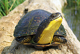 Blanding's turtle, Frontenac Arch Natural Area, Ontario (Photo by Ryan M. Bolton)