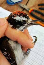 A male downy woodpecker being processed (Photo by NCC)