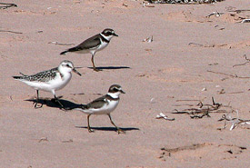 Plovers and sandpiper (Photo by Douglas C. Leitch)