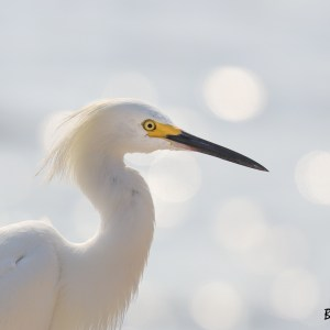 Aigrette neigeuse-Colombie