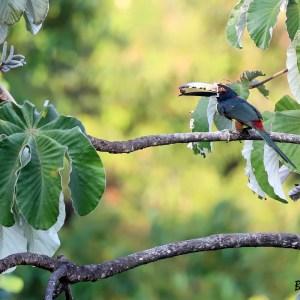 Araçari à collier (Toucan)-Colombie