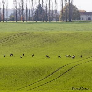 Chevreuils en plaine en période de chasse au bois-France-Marne