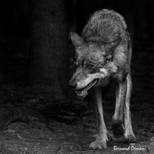 Loup d'Europe (animal non sauvage)-Pologne
