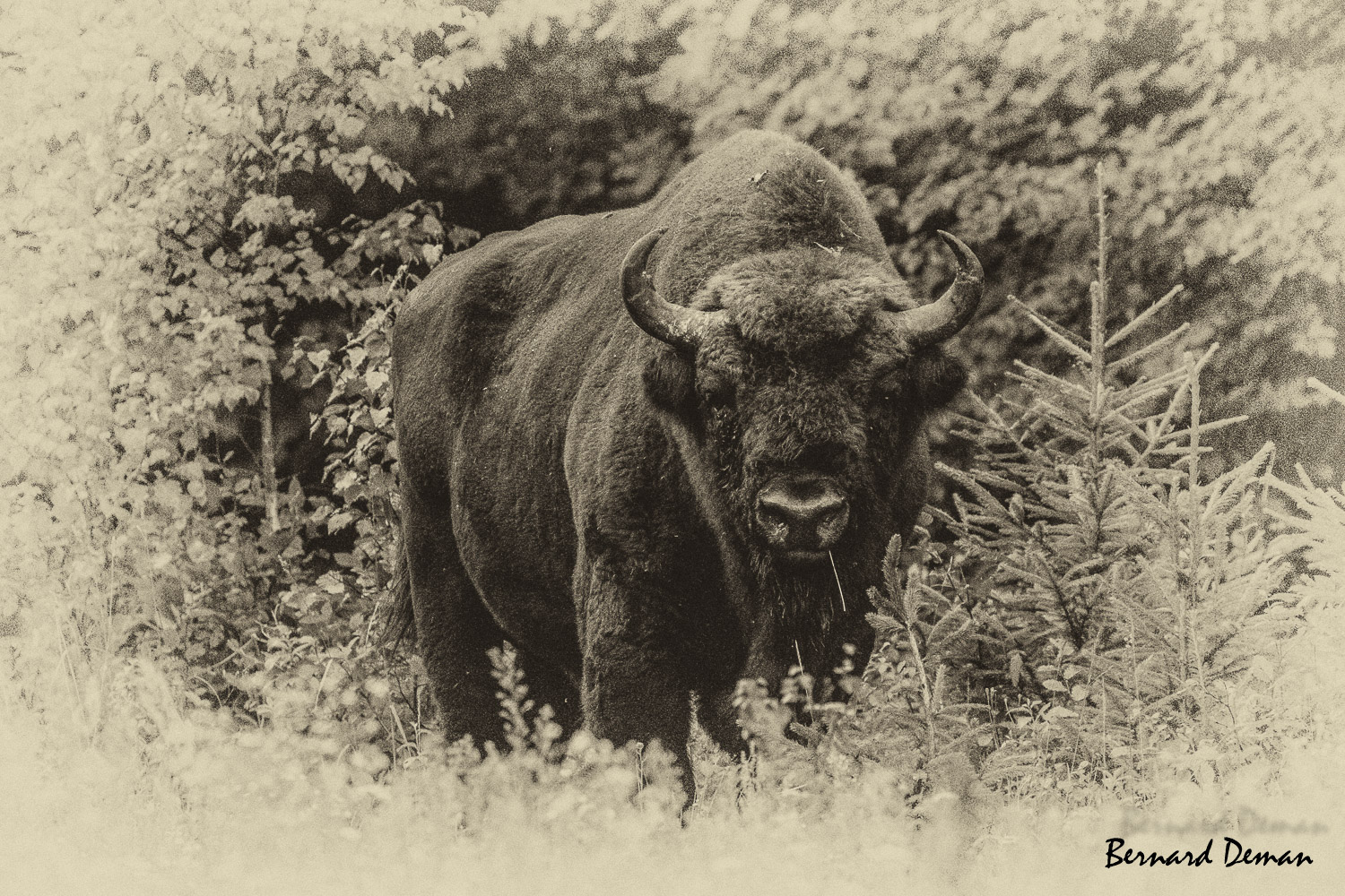 Bison d'Europe-Pologne