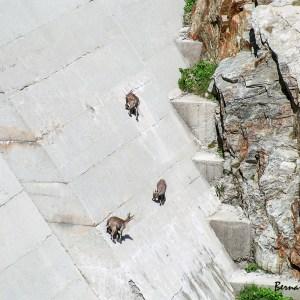 Bouquetins qui lèchent le sel qui suinte du barrage-France-Alpes
