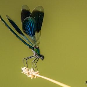 Caloptéryx éclatant-France-Val d'Oise