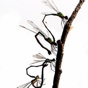Accouplement de Lestes verts-France-Aube