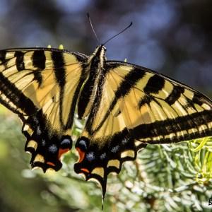 Papilio rutulus-USA-Grand canyon