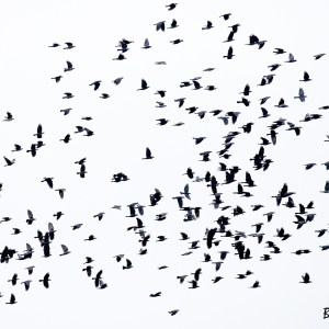Vol de Choucas des tours-Hollande