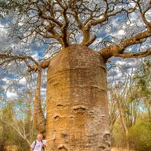 Exceptionnel baobab Adansonia rubrostipa-Madagascar