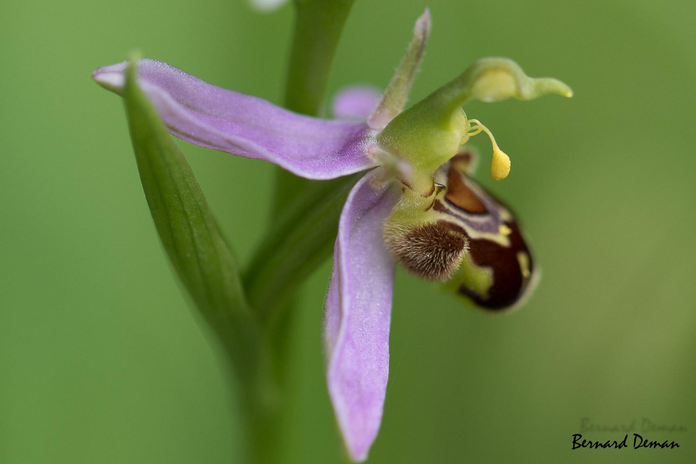Ophrys abeille-France-Dordogne