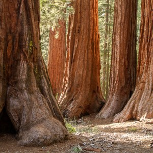 Séquoia-USA-Californie