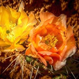 Cactus en fleur-USA