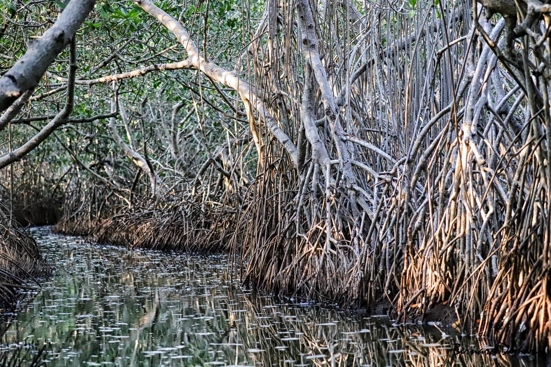 Mangrove de Palétuviers-colombie