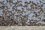 Observation des vols des Oiseaux en migration de printemps