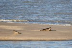 Observation des Phoques gris et Veaux marins