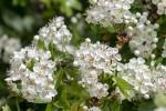 Floraison des buissons d'Aubépine