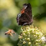 Abeilles et guèpes butinant le Lierre en fleur