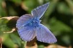 Papillons Azurés bleus