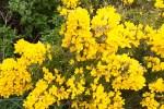 Buissons d'Ajoncs en or