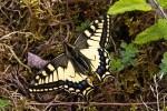 Observation des Papillons Machaon et Flambé