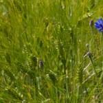 Bleuets en fleurs en bordure des champs