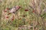 Les baies des arbustes: garde-manger des oiseaux pour l'hiver.