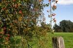 """Les """"fruits"""" rouges de l'Eglantier: cynorhodons pour les amateurs d'orthographe, """"gratte-culs"""" pour les autres"""