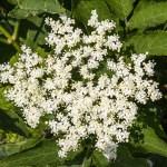 Les larges et odorantes inflorescences blanches du Sureau noir