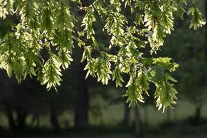 Floraison des Bouleaux verruqueux, Charmes communs et Hêtres en même temps que le débourrement des bourgeons des feuilles