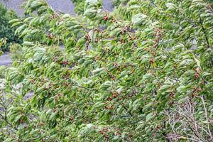 En juin cueillez les merises (avant que les oiseaux ne s'en chargent !)