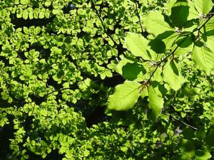 Le vert tendre des jeunes feuilles des arbres