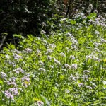 Floraison de la Cardamine des prés