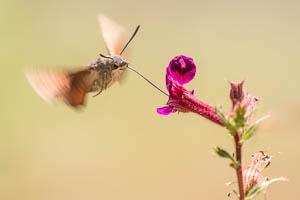 Le Moro Sphynx, ce papillon qui fait le Colibri