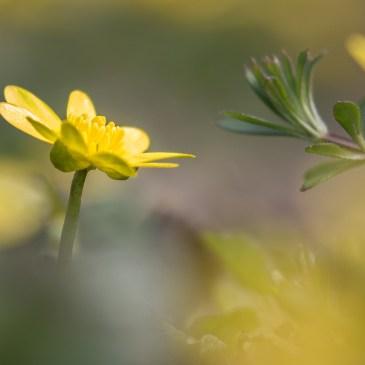 Le printemps se fait désirer mais les Hirondelles rustiques sont arrivées, les Prunelliers en fleurs forment des haies blanches le long des routes, et les étoiles jaunes des Ficaires sont épanouies dans les clairières et sur les lisières des bois