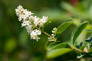 Floraison odorante des Troènes