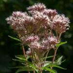 Floraison de l'Eupatoire chanvrine