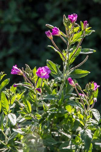 L'été est la saison des Epilobes roses
