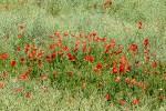 Les champs déroulent leur tapis rouge de Coquelicots