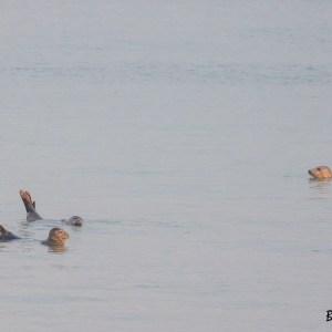 Phoques gris. Digue du Braek. Dunkerque. Nord